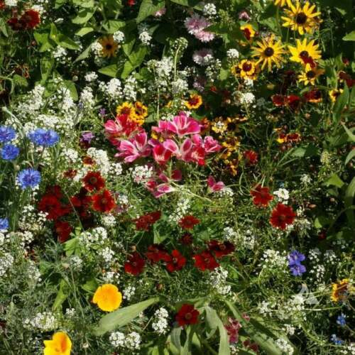 2000 Butterfly and Hummingbird Wildflower Mix For Fall or Spring Plantings