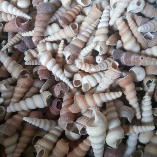 Shell 250g Screw Shell Wholesale shells wedding shell craft aquarium