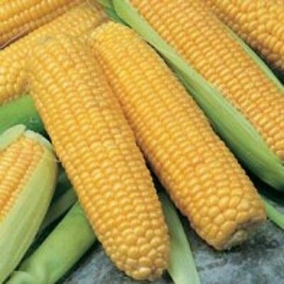 Sweetcorn Incredible F1 - 25 seeds - Vegetables/ Fruits