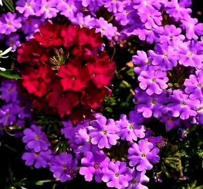 Hanging Basket Verbena Trailing Verbena 50 Seeds Cascading Mixed Colours