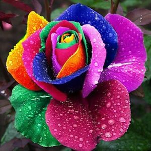 20 Seeds Sealed Pack Of Beautiful Rainbow Red Pink Multicoloured Rose Flower
