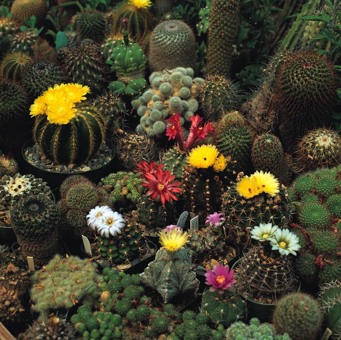 Cactus Crown Mixed x25 seeds Flowering Cactus Seed