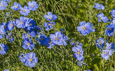 Con Meravigliosi Azur Blu Fiori Estasiati La Arbusti Guinzaglio Il Suo Aiuola.-mostra Il Titolo Originale Il Massimo Della Convenienza
