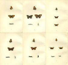 6 Morris Antique Butterfly prints 1870 Hand coloured   Lot 3