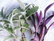 8 TRADESCANTIA CUTTING 2 varieties , sillamontana, pallida Purple Heart