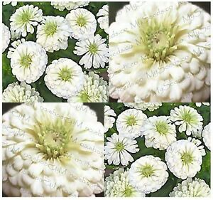 how to cut zinnia flowers