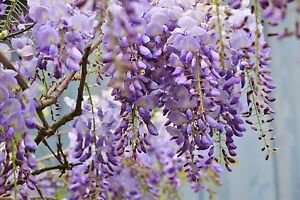 SINENSIS-WISTERIA-CHINESE-TREE-CLIMBER-PURPLE-FLOWERING-3L-POT-3-4ft