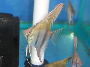 Silver Angelfish Quarter Body Size Diverse Genetics 4 Pack Live Ebay