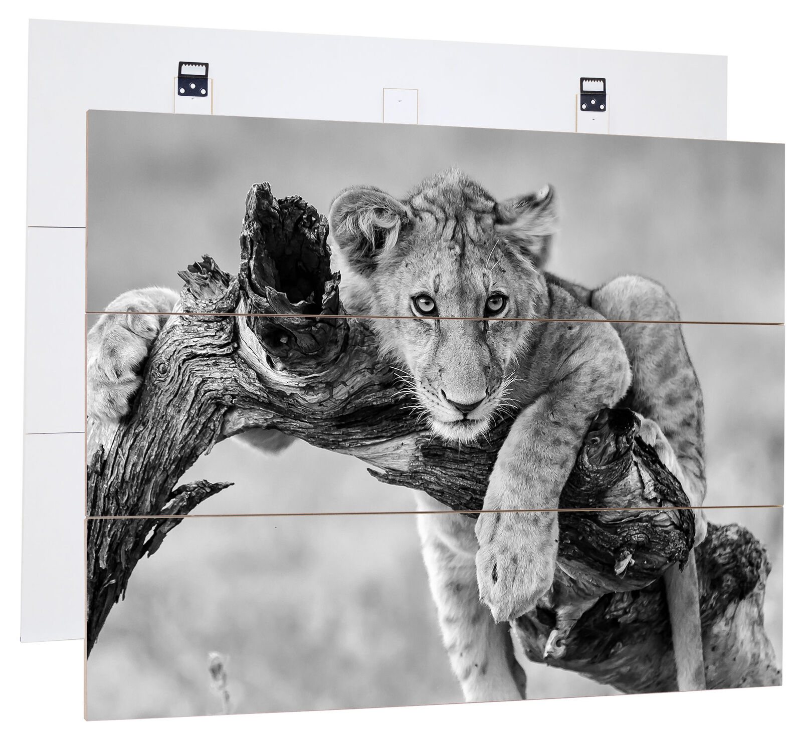 Young Lion in NATURE ART b&w - Genuine MDF boisen Picture Boards look, bois Sign