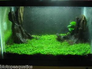 weeping moss 15g 12 x 8 cm rare aquarium fish carpet plant