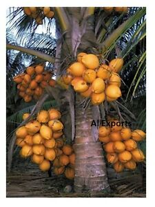 1 KING Coconut seed- -Dwarf Palm tree (Cocos Nucifera ...