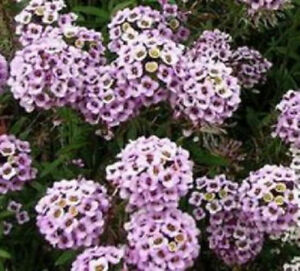 Sweet alyssum 200 seeds lovely lavender and white colored flowers image is loading sweet alyssum 200 seeds lovely lavender and white mightylinksfo