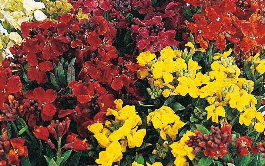 Wallflower 'Bedding mixed' Appx 600 seeds - Annuals & Biennials