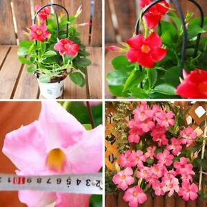 100pcs-bag-Mandevilla-Dipladenia-Bonsai-Seeds-indoor-plant-Ornamental-Plant-for
