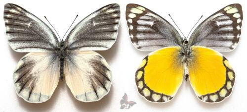 Delias melusina unmounted butterfly