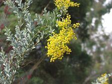 Acacia cultriformis - Dog Tooth Wattle 15 seeds