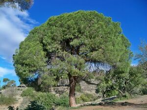20-Semillas-Pino-carrasco-PINUS-HALEPENSIS-Samen-Semi-Pine-Tree-Seeds