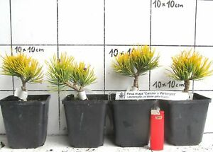 Pinus-mugo-CARSTENS-WINTERGOLD-mit-im-Winter-gelben-Nadeln