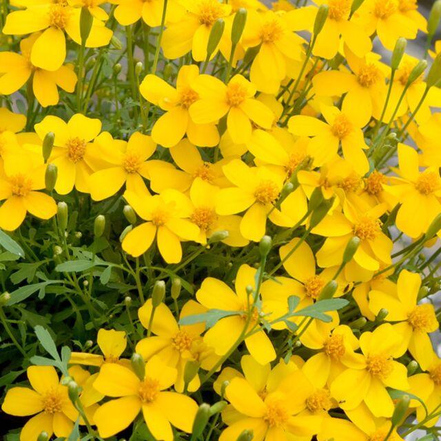 50 Mexican Mint Seeds Mosquito Repellent Marigold Herb Medicinal