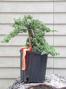 Bonsai Tree Plant Pre Bonsai Juniper Procumbens Nana Bonsai Tree Ebay