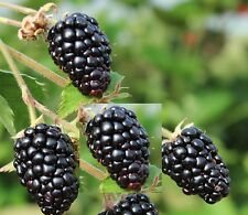 TWO  Blackberry Ark freedom - Thornless, Live plants, Primocane, Rubus