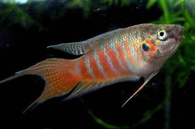 Paradisefish (Macropodus opercularis) ** Tropical Fish **