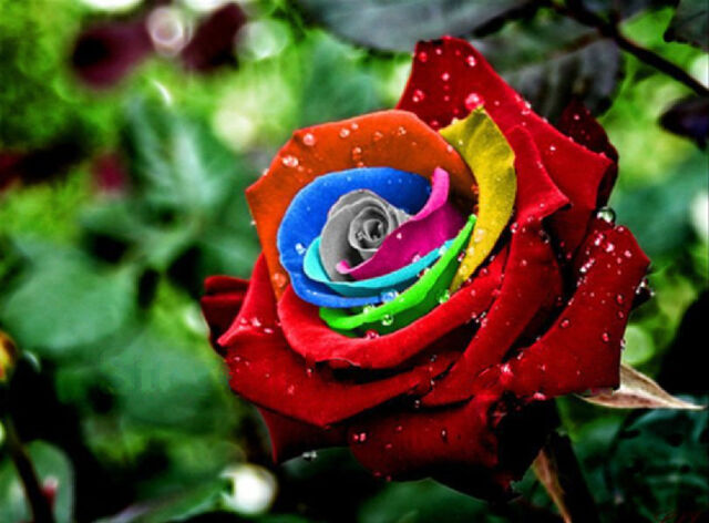 Mystic Dream Rose Seeds ★  Multicolor Roses ★ Winter Hardy Plant ★ 10 Seeds