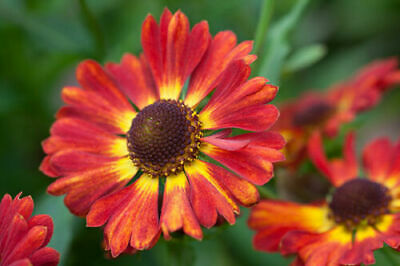 UK EU 50 x HELENIUM autumnale salsa semi Self semina perenne Ruggine//Rosso