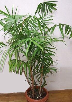 die elegante dekorative Pemba-Palme ein Schmuckstück unter den Zimmerpalmen !
