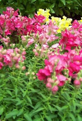 2000 NORTHERN LIGHTS MIX SNAPDRAGON Linaria Flower Seed