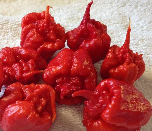 Pot Primo Chilli Trinidad 7 Pod One of the Rare /& Hottestin the World
