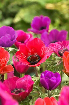 40 ANEMONE MR FOKKER SYLPHIDE BEAUTIFUL SPRING FLOWER AUTUMN GROWING BULB CORM