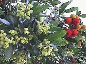 Erdbeerbaum-Erdbeeren-das-ganze-Jahr-frisches-Obst-auch-im-Winter-Deko-Duftkraut