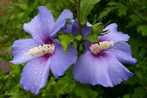 Rose Of Sharon Seeds Blue Bird Hardy Perennial Flowering Shrub