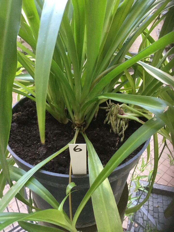 Stueplante, Væddeløber. Chlorophytum comosum