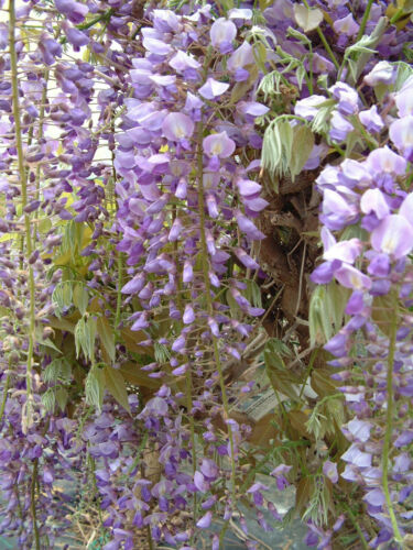 Wisteria Sinensis Climbing Plant 3 litre pot