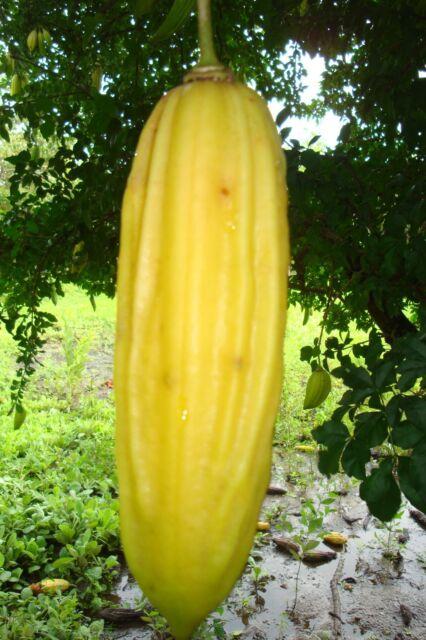 Parmentiera Edulis Aculeata Guajilote Edible & Sweet Tropical Fruit 5 Seeds Rare