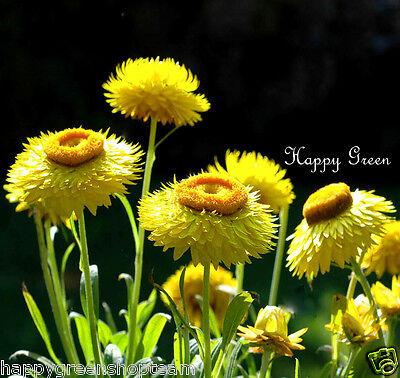 STRAWFLOWER YELLOW - Helichrysum bracteatum - 900 SEEDS - EVERLASTING FLOWER