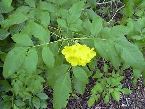 Tecoma stans floración espectacular 25 semillas frescas Bignonia amarilla