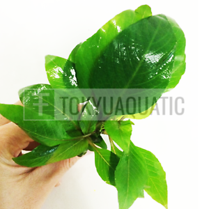 Nomaphila-Siamensis-Hygrophila-Corymbosa-Freshwater-Tropical-Live-Aquarium-Plant