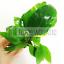 Nomaphila-Siamensis-Hygrophila-Corymbosa-Freshwater-Tropical-Live-Aquarium-Plant thumbnail 1