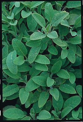 Herb - Suffolk Herbs - Sage Seed - Salvia officinalis - Pictorial Packet