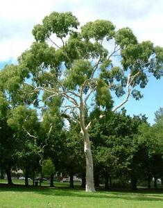 eucalyptus citriodora