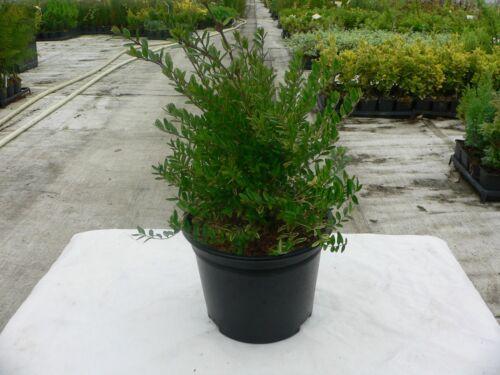 Lonicera Nitida Lemon Beauty9cm /& 2L Pot Size