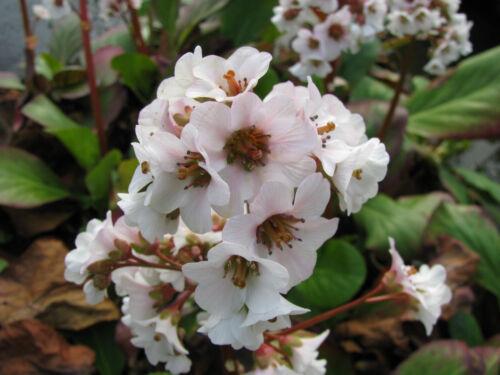 Bergenie Bergenia hybride Harzkristall Frühlingsblüher