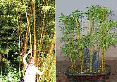 exotisch Garten Pflanze Samen Sämereien Exot ROSA BANANE Kübelpflanze