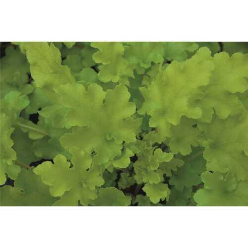 "Purpurglöckchen /""Lime Marmalade/"" im Topf 12 cm Heuchera /""Lime Marmalade/"" …"