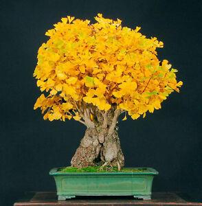 Arbol-sagrado-Ginkgo-biloba-7-semillas-Seeds
