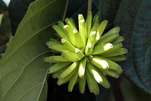 Camptotheca Acuminata 5 Seeds /'Tree of Life Bonsai K09 Happy Tree Seeds Semi
