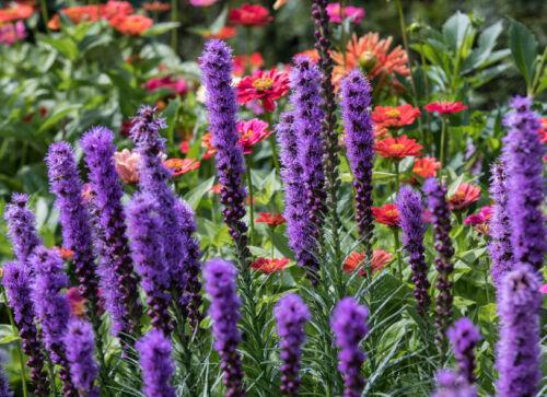 Pour le jardin la belle splendeur rassembla a beaucoup de SUPERBES FLEURS VIOLET!